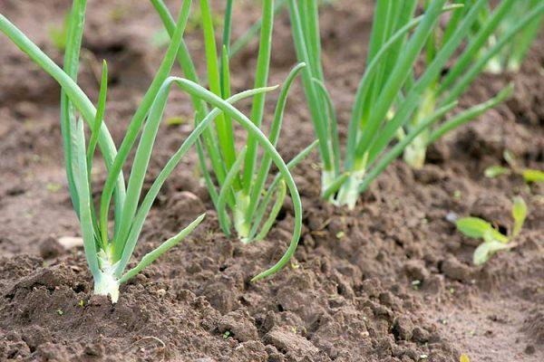 Onion-Row