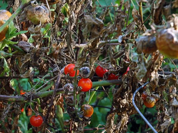 Pochemu-gniyut-pomidory