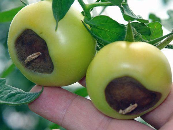 Pochemu-gniyut-zelenye-pomidory