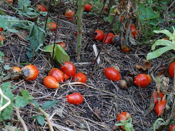 Pochemu-pomidory-ne-osypayutsya
