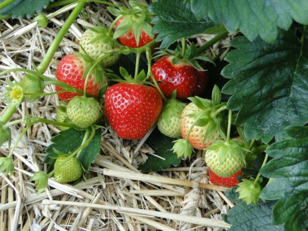Strawberry-growing-2