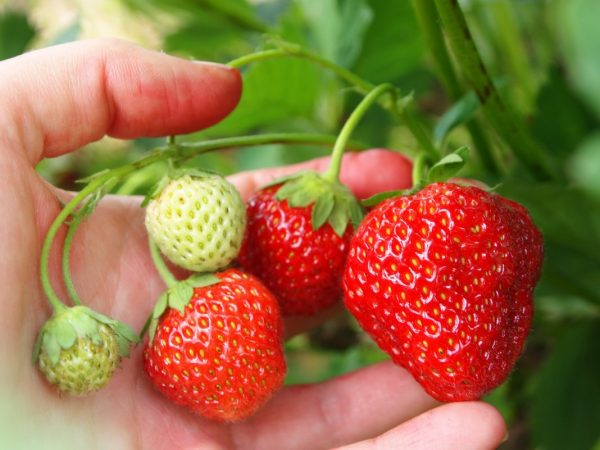 Strawberry-growing-3
