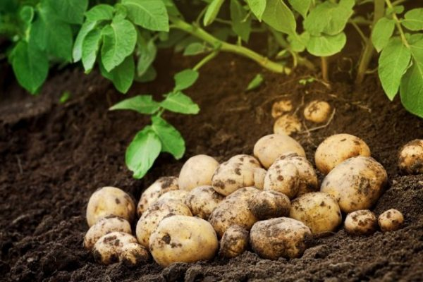 Vyrashchivanie-kartofelia-640x427-1