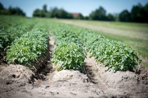 7 способов посадки картофеля – проверено практикой! — AgroXXI