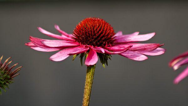 Эхинацея пурпурная. Лечебные свойства - Венская дача
