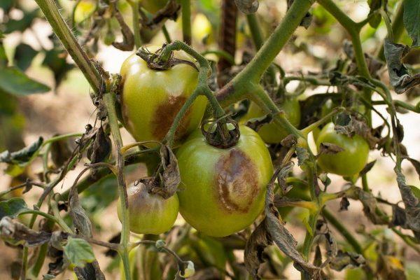 fitoftora-na-pomidorah-priznaki-i-prichiny-zarazheniya-sposoby-le
