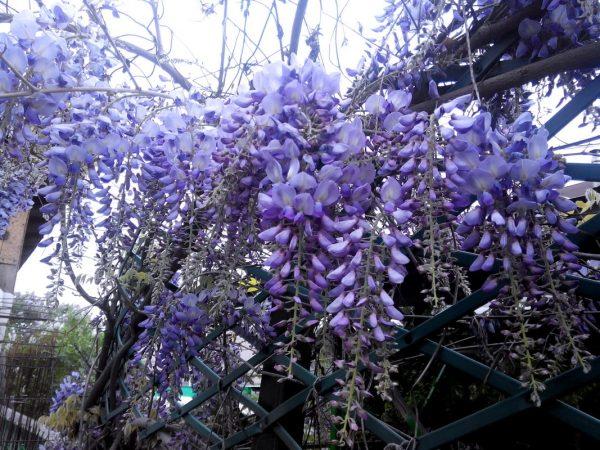 Глициния: выращивание и уход, фото в небольшом саду