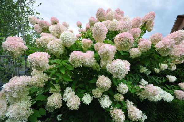 gortenziya-grandiflora-scaled-1