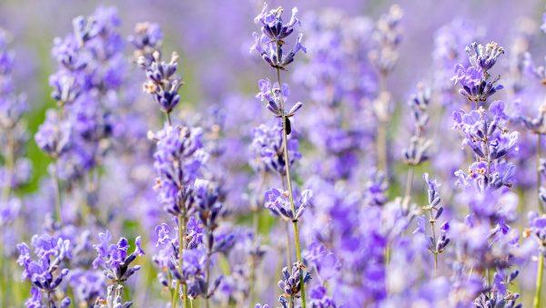 hd_fs_lavender