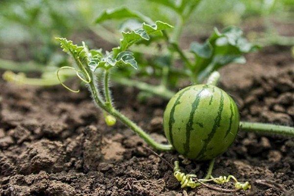 kak-sazhat-arbuzy-semenami-v-otkrytyj-grunt