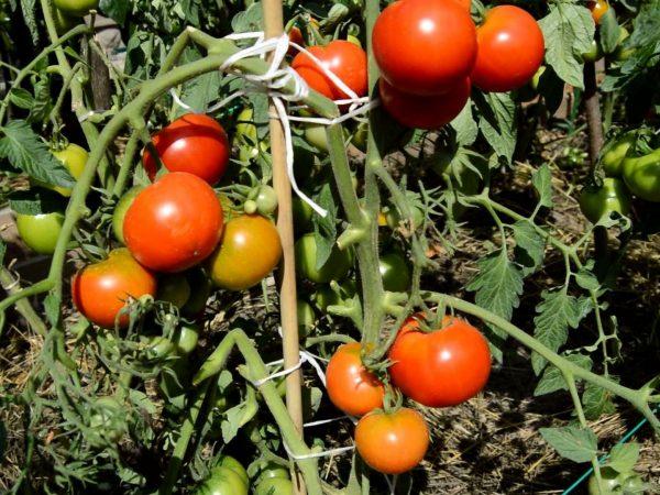 luchshie-sorta-tomatov-dlya-ekstremalnyih-usloviy-korotkogo-leta-ili-zharyi-08