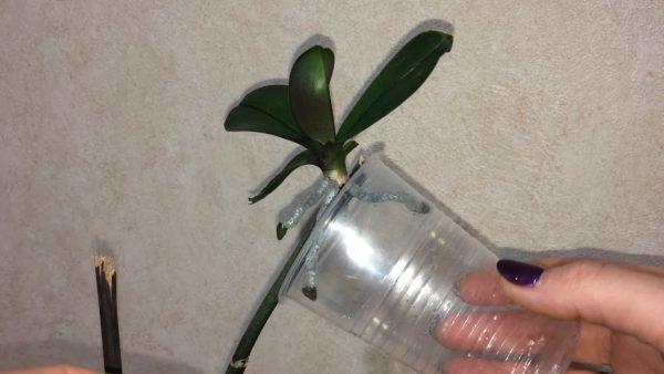 Детка орхидеи на цветоносе. Как правильно отсадить? - YouTube