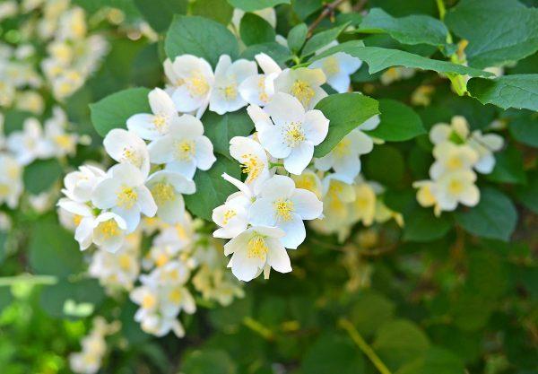 Жасмин обязателен для ароматного сада ~ Дом и сад
