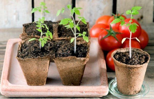posadka-pomidor
