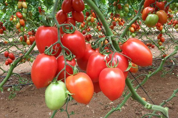 Лучшие голландские суперранние сорта томатов для теплиц