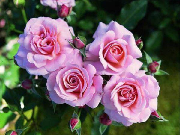 Роза морщинистая: описание, сорта, особенности посадки и ухода ...