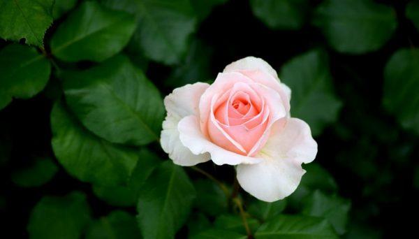 Роза в Древней Индии - мифы, легенды, история происхождения
