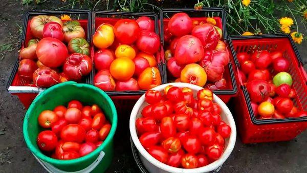 urozhaj-tomatov