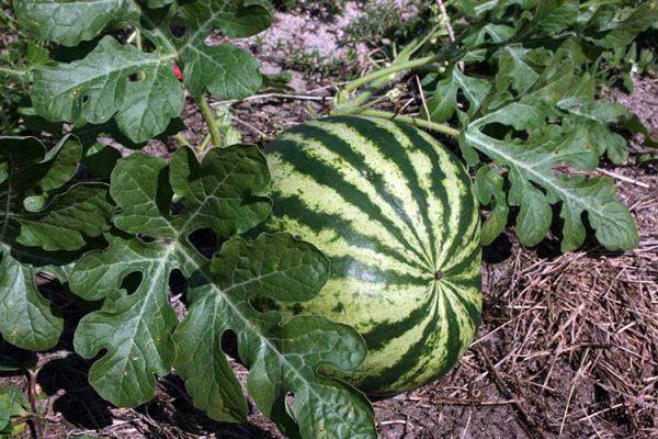 watermelon-planting-big