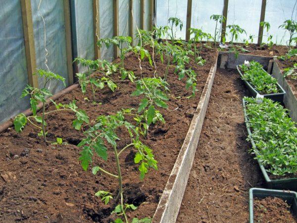 1-pomidori-v-teplice