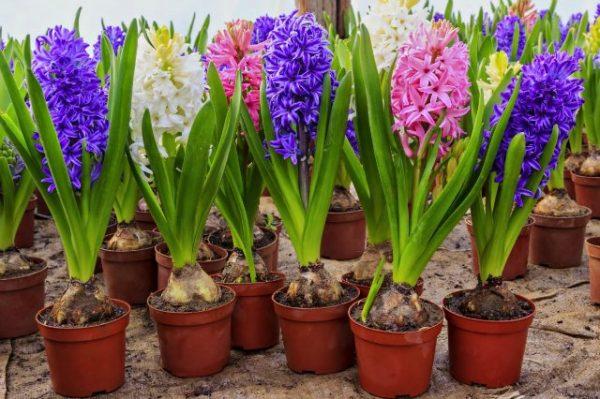 Выгонка тюльпанов, гиацинтов и нарциссов к 8 марта. Рекомендации + ...