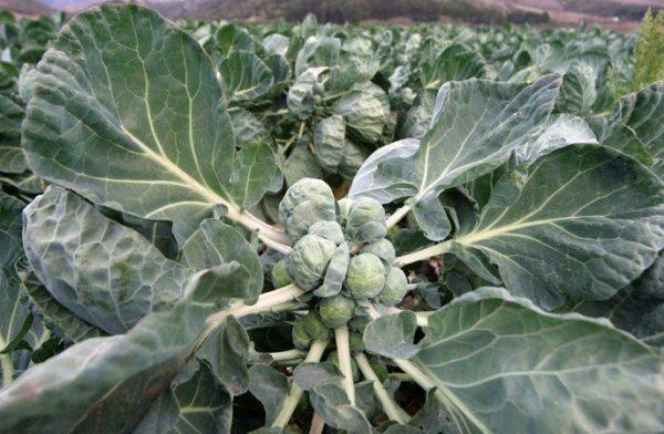 Как вырастить брюссельскую капусту на своем огороде   Зимние овощи ...