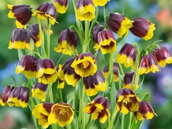 Fritillaria-michailovskyi