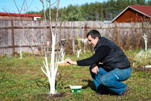 czy-bielenie-drzew-jest-konieczne