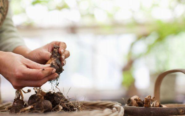 Когда выкапывать и как сохранить луковицы тюльпанов, гиацинтов ...