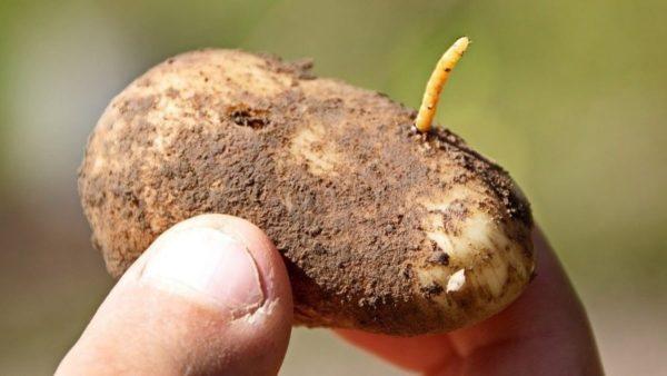 Методы борьбы с проволочником на овощных культурах