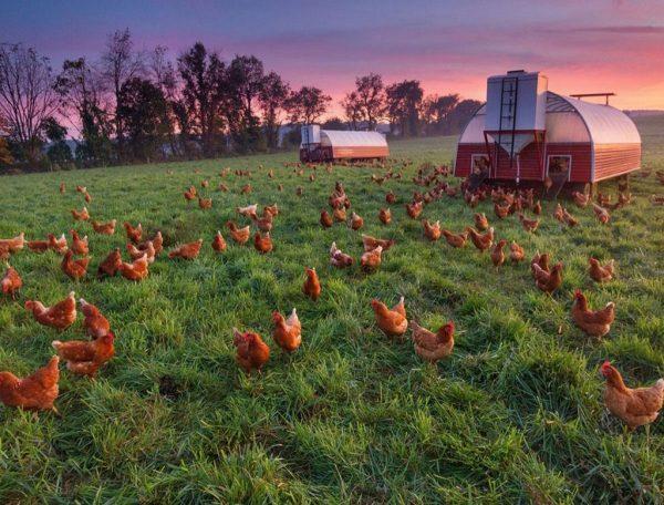 Органика из курятника: удобряем грядки куриным пометом