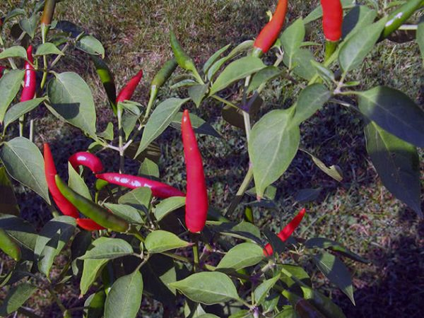 pepper_chili6a