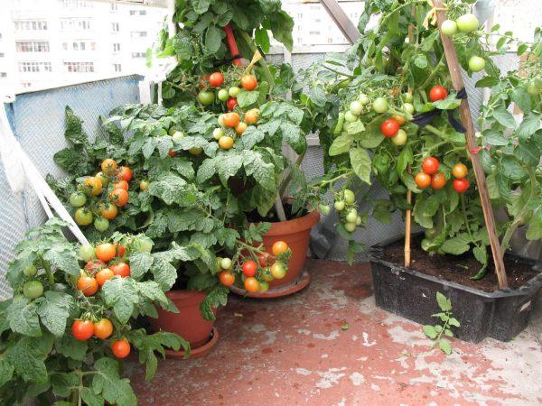 pomidoryi-na-podokonnike-4