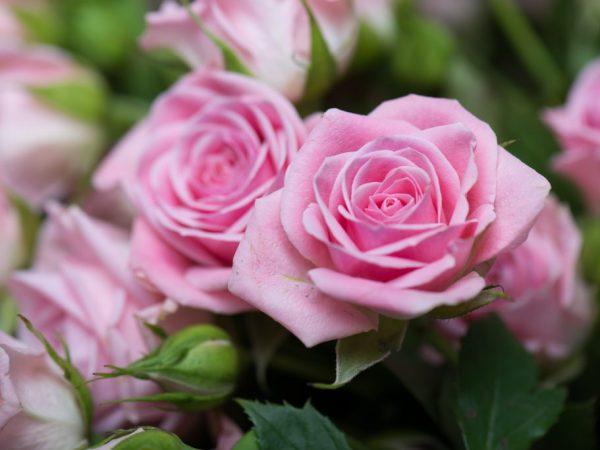 razmnozhenie-roz-cherenkami-osenyu-600x450-1