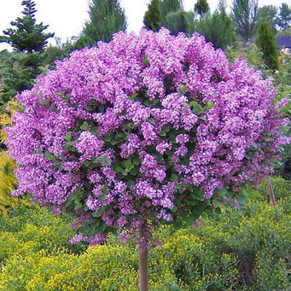 Растения :: Декоративные кустарники :: Сирень :: Сирень Мейера ...