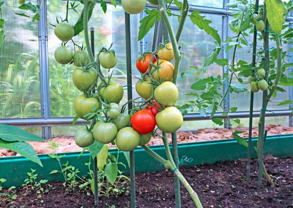 tomaty-v-teplitse-scaled-1