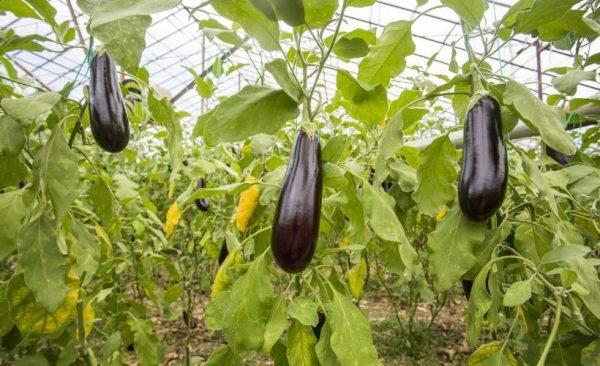 Баклажан – секреты выращивания, популярные сорта | Дачный сезон