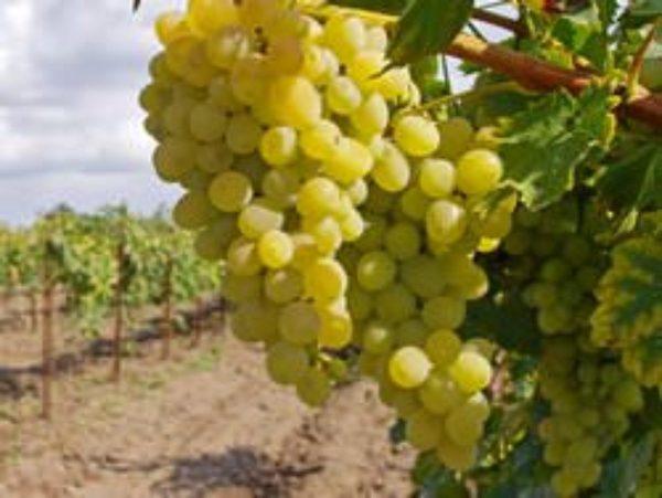 Уход за виноградом в течение года: календарь виноградаря, посадка ...