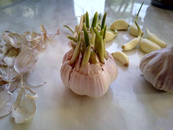 Как вырастить чеснок дома на подоконнике: садим чеснок в горшке ...