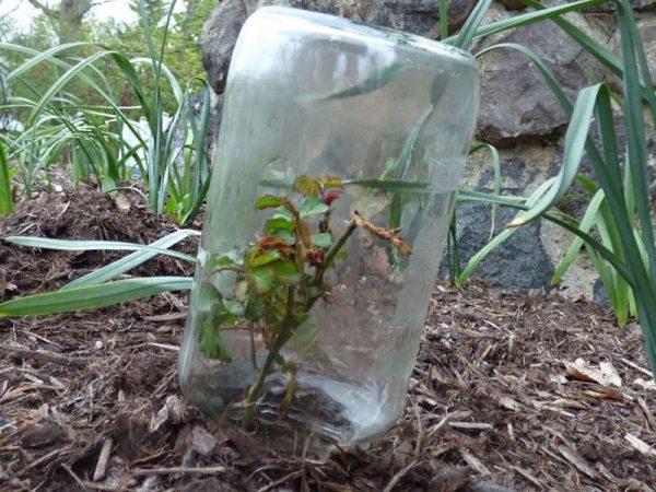 Можно ли укоренить розу из букета осенью - Выращивание из Семян!