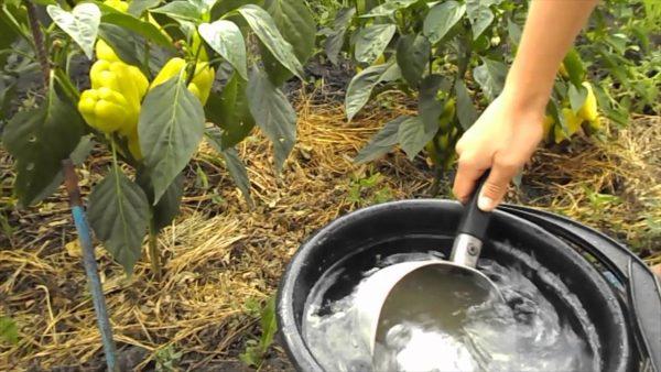 Зеленое удобрение из крапивы - органическая подкормка для перцев и ...