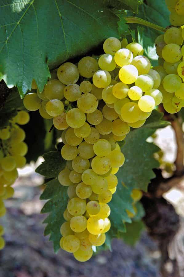 Мускат Белый - саженцы, черенки технических сортов винограда