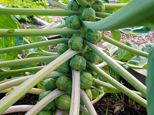 Созревающий урожай брюссельской капусты