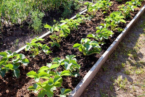 Когда и как рассаживать клубнику, в том числе ремонтантную, весной ...