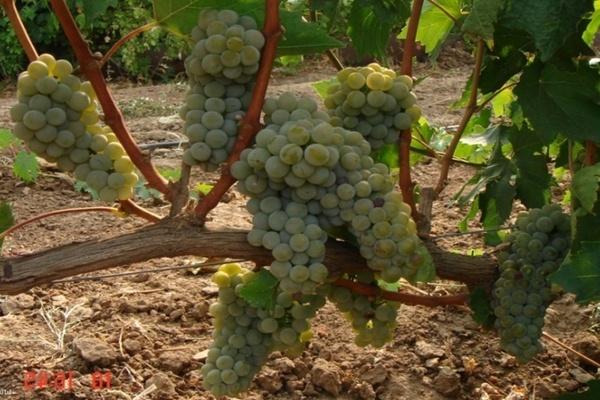 Виноград Бианка: описание сорта, плюсы и минусы, выращивание