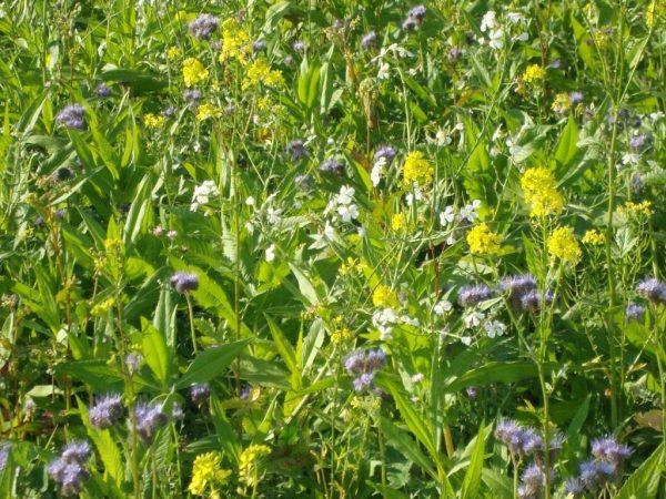 Какие сидераты сеять весной? Посадка сидератов весной. Фото — Ботаничка.ru