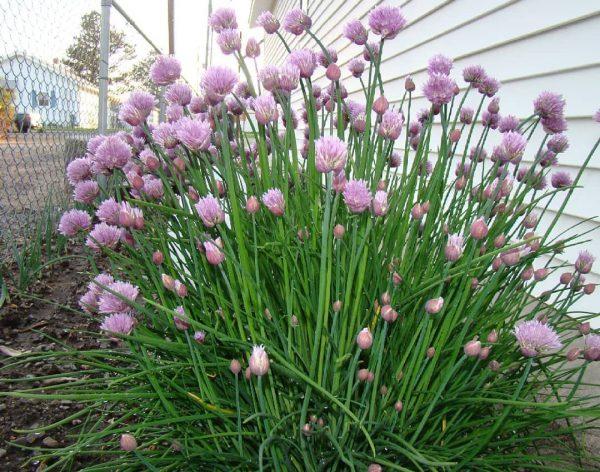 Шнитт-лук, или Лук скорода как и другие разновидности луков, относится к  зеленным и пряно-вкусовым культурам.   Plants