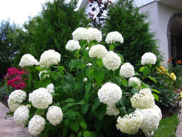 Гортензия Анабель - особенности, посадка и уход, благоприятные условия для  роста и цветения, способы размножения
