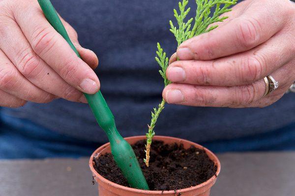Как размножать тую черенками осенью - Агро Эксперт