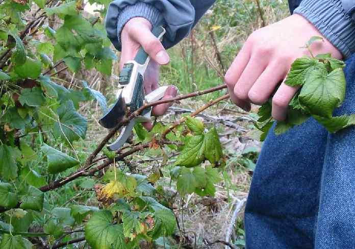 Размножение смородины черенками осенью — Всё своё